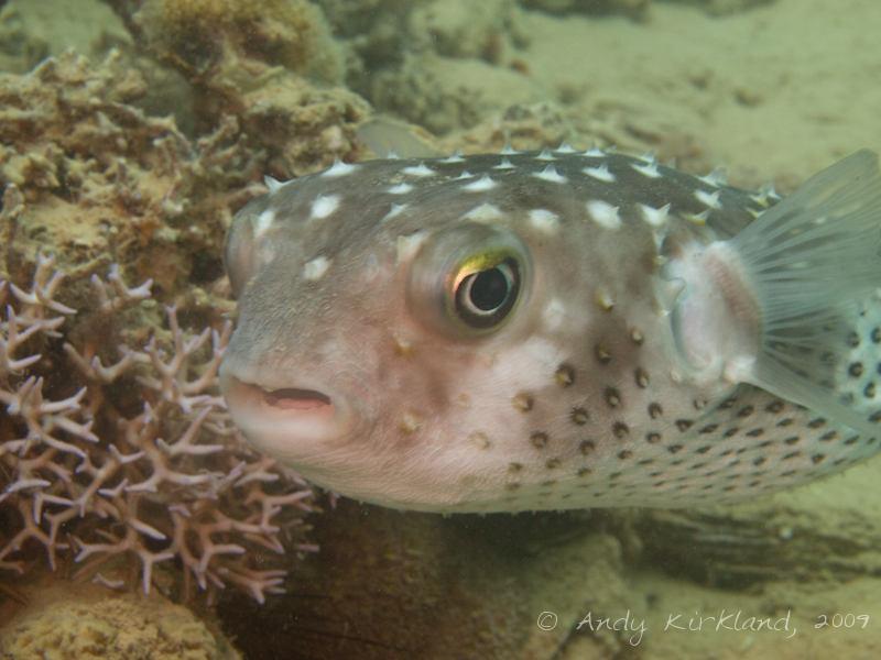 Photo at Abou Lou Lou:  Spotbase burrfish