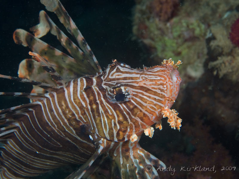 Photo at Pipeline:  Devil firefish