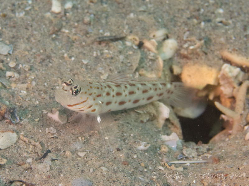 Photo at Abou Lou Lou:  Red Sea shrimpgoby