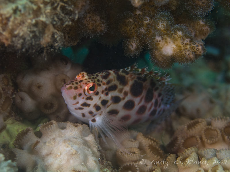 Photo at Abou Lou Lou:  Coral hawkfish
