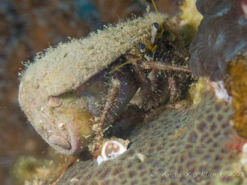 Photo at Abou Lou Lou:  Reef Hermit crab
