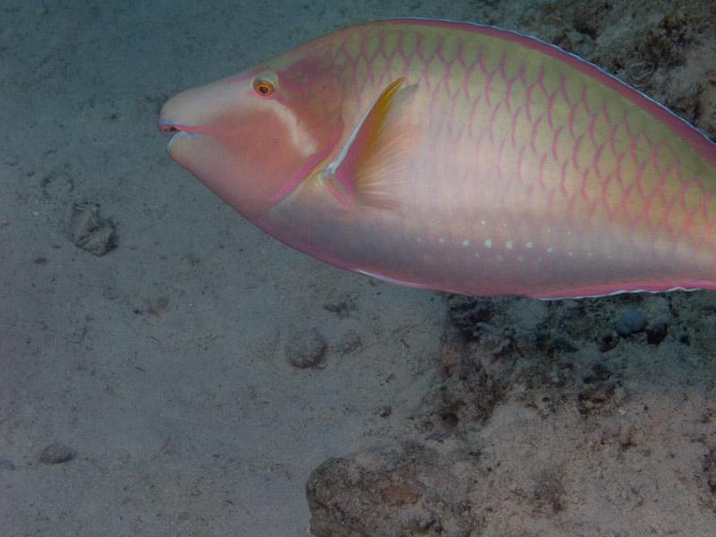 Photo at Ras Caty:  Candelamoa parrotfish