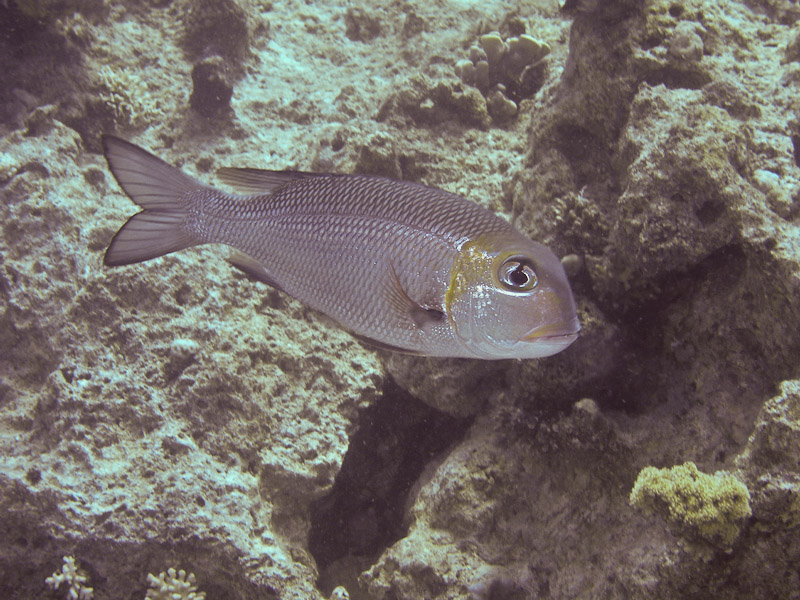 Photo at Ras Caty:  Humpnose big-eye bream
