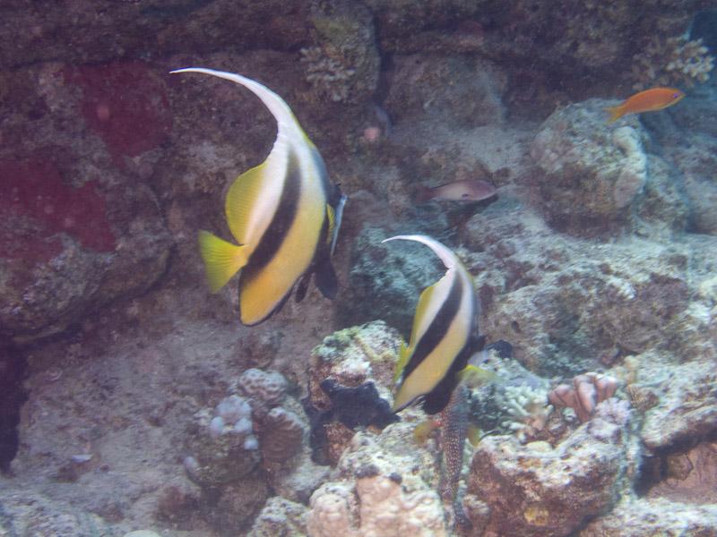 Photo at Ras Caty:  Red Sea bannerfish