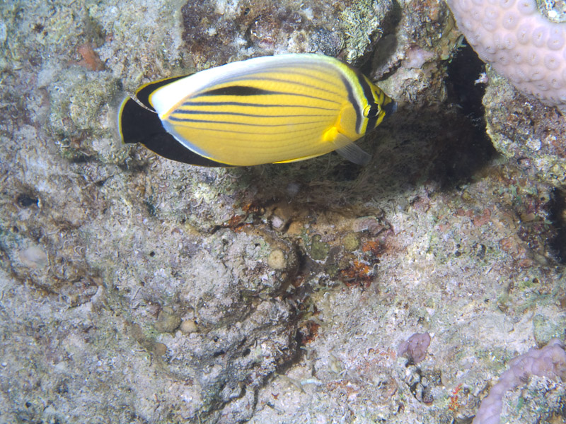 Photo at Ras Caty:  Blacktail butterflyfish