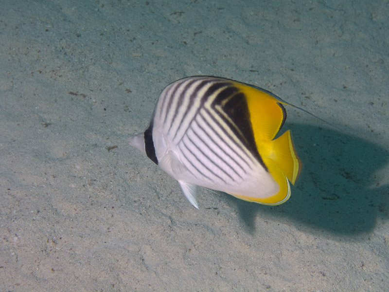 Photo at Ras Caty:  Threadfin butterflyfish