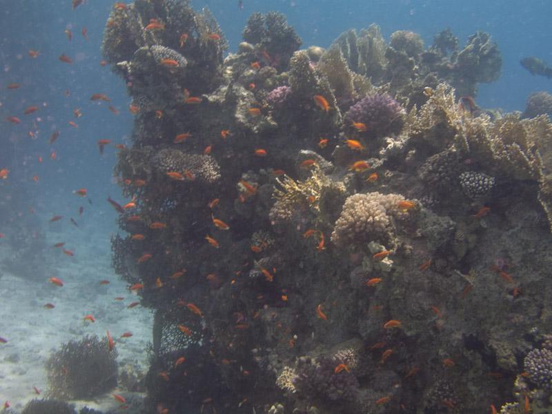 Photo at Ras Caty:  Sea goldie