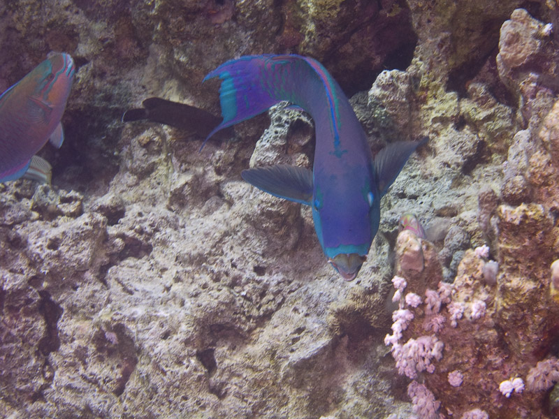 Photo at Ras Um Sid:  Heavybeak parrotfish