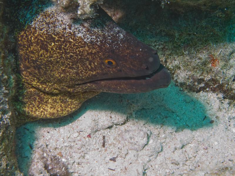 Photo at Ras Um Sid:  Yellow-edged moray