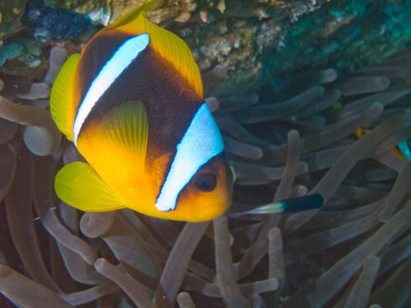 Photo at Ras Um Sid:  Twoband anemonefish