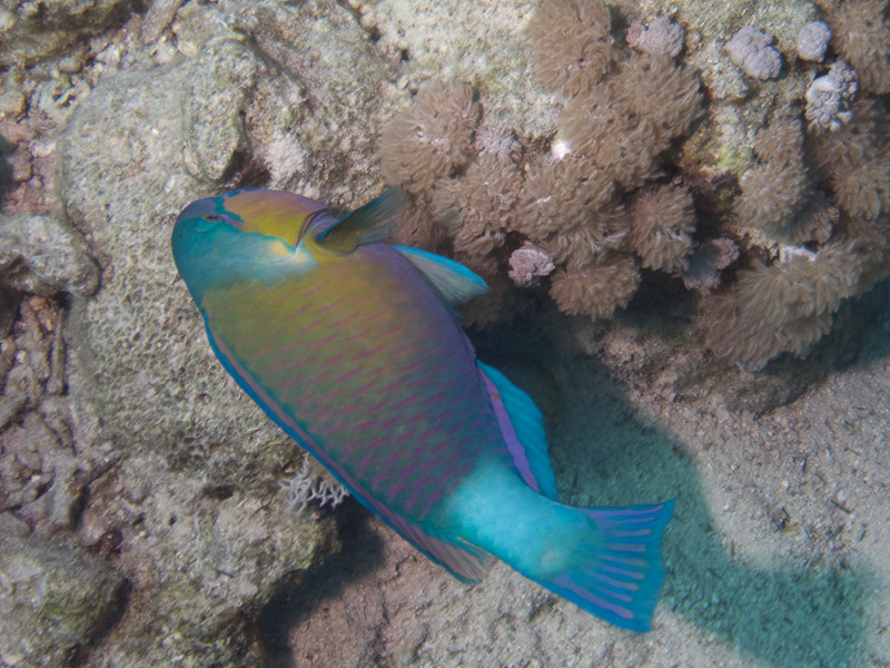 Photo at Ras Um Sid:  Daisy parrotfish