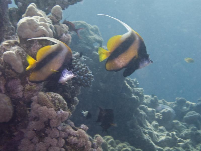 Photo at Ras Um Sid:  Red Sea bannerfish