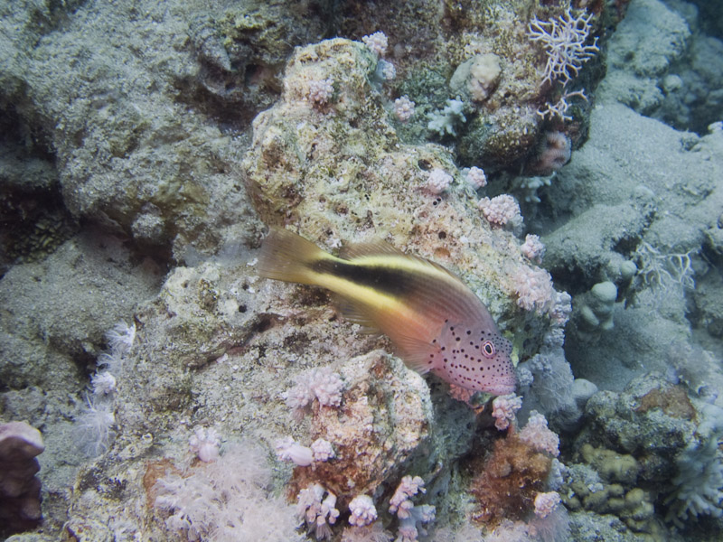 Photo at Ras Bob:  Blackside hawkfish