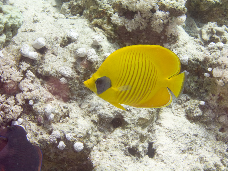 Photo at Ras Bob:  Bluecheek butterflyfish