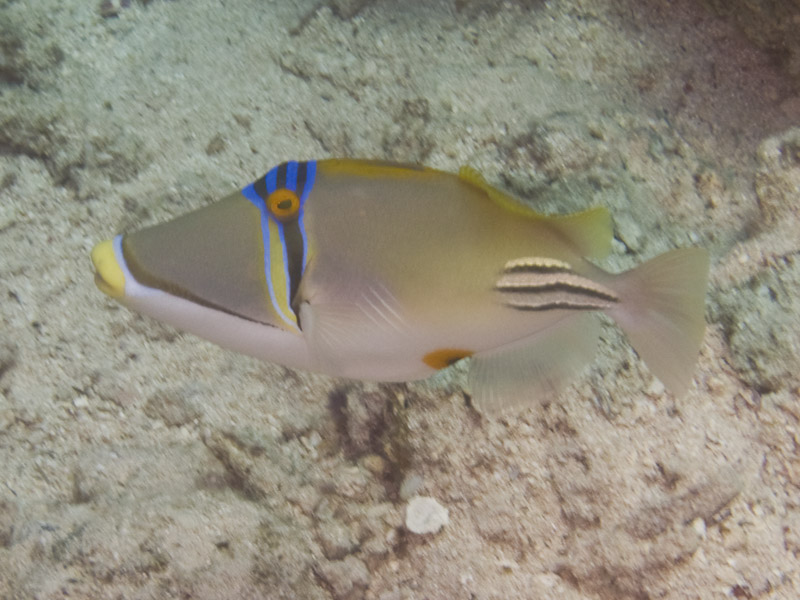 Photo at Ras Bob:  Picasso triggerfish