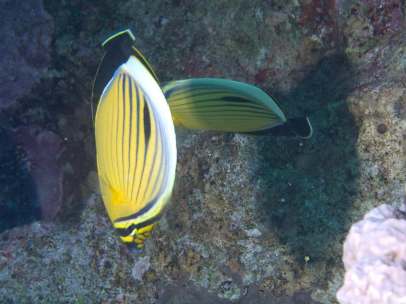 Photo at Ras Bob:  Threadfin butterflyfish