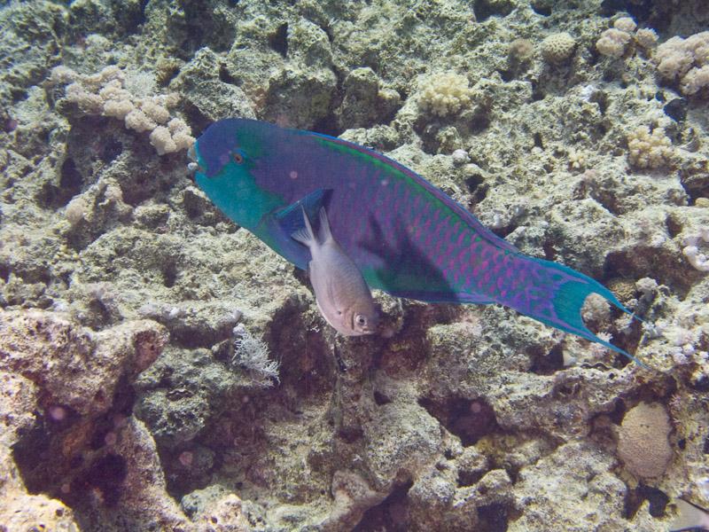 Photo at Ras Bob:  Heavybeak parrotfish