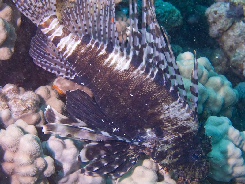 Photo at Middle Garden - Near Garden:  Devil firefish