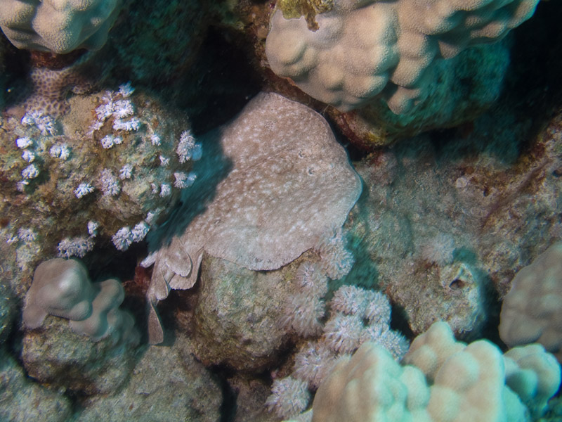 Photo at Middle Garden - Near Garden:  Panther electric ray