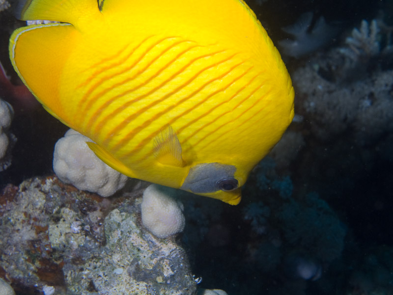 Photo at Middle Garden - Near Garden:  Bluecheek butterflyfish