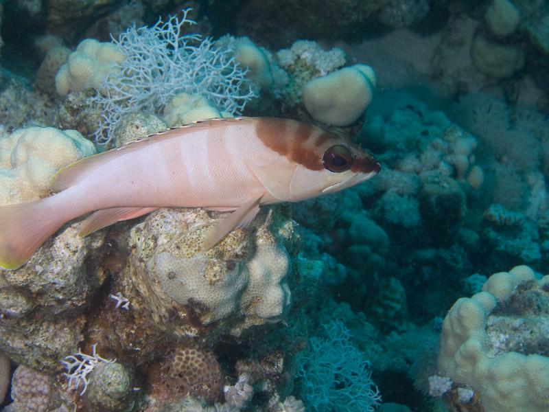 Photo at Middle Garden - Near Garden:  Blacktip grouper
