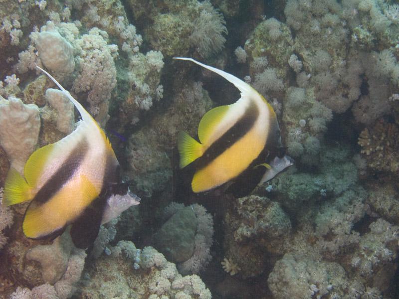 Photo at Middle Garden - Near Garden:  Red Sea bannerfish