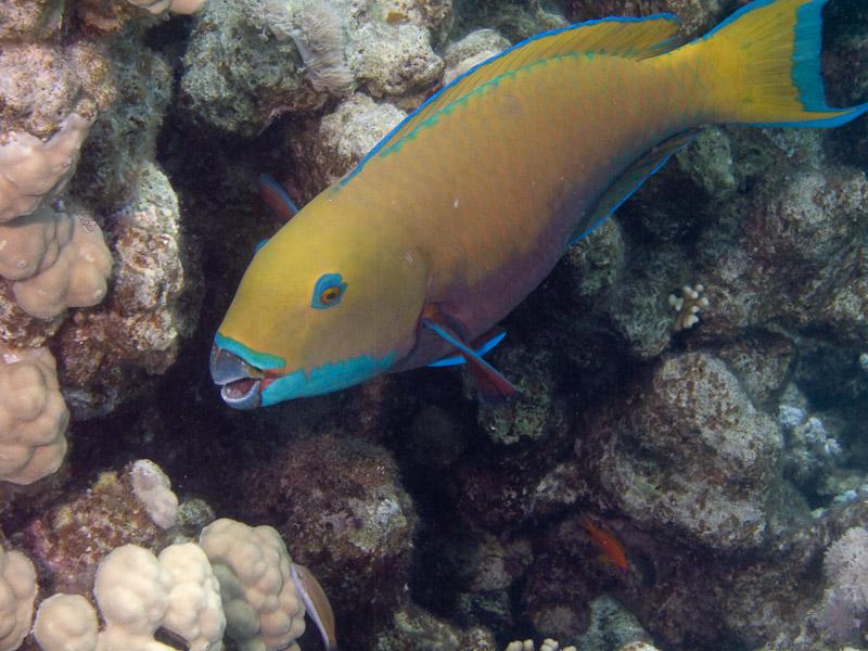 Photo at Middle Garden - Near Garden:  Heavybeak parrotfish