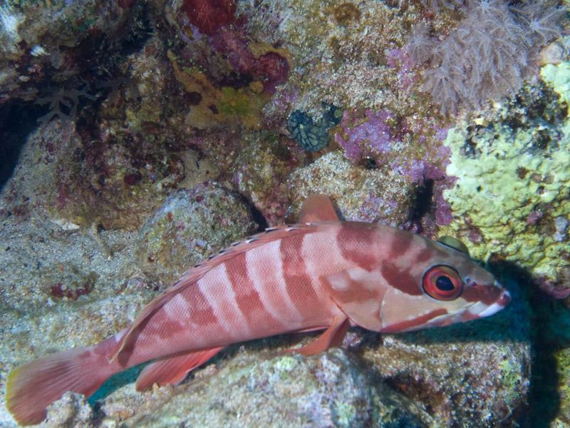 Photo at Jackson Reef:  Blacktip grouper