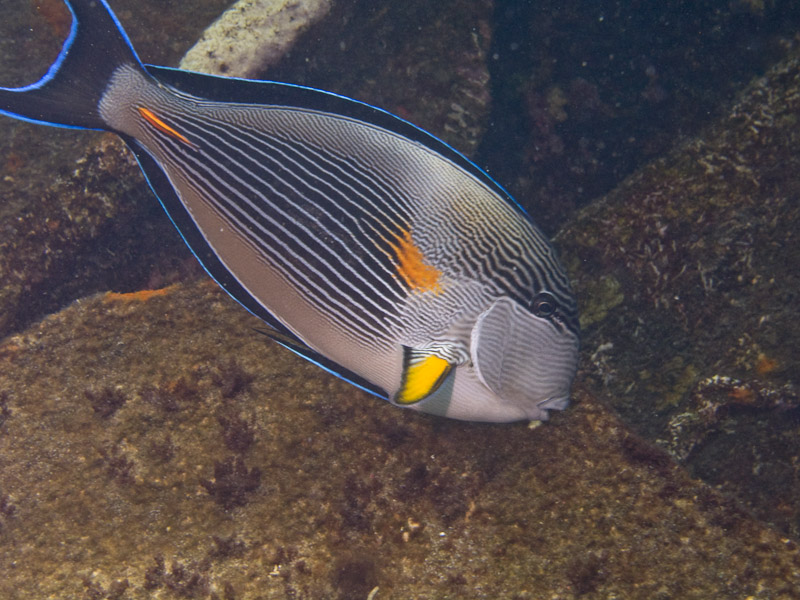 Photo at Kormoran:  Bluespine unicornfish