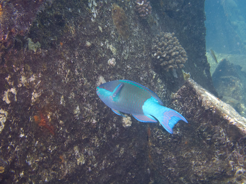 Photo at Kormoran:  Daisy parrotfish