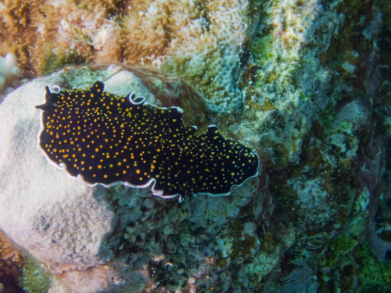 Photo at Kormoran:  Gold-dotted flatworm