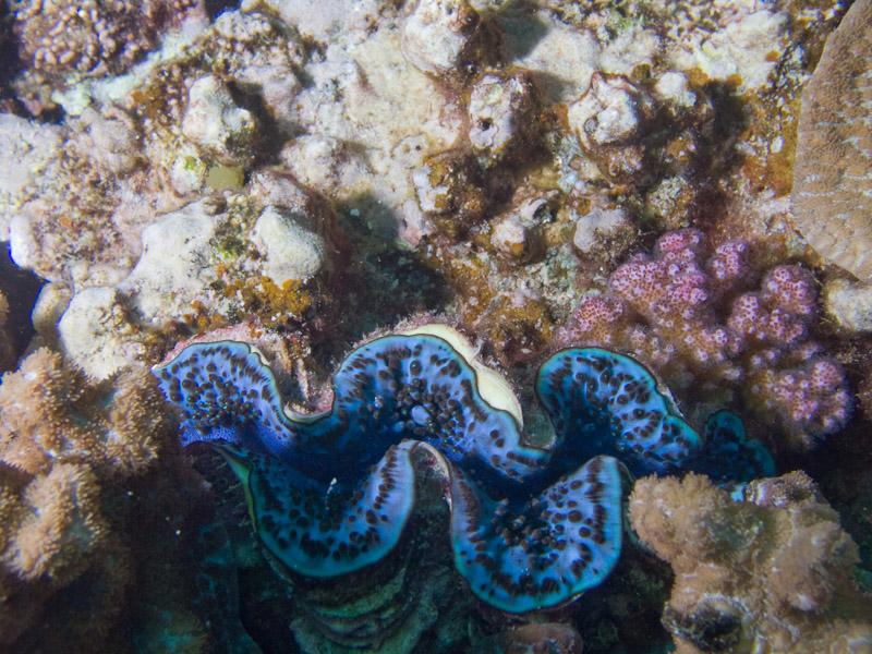 Photo at Kormoran:  Giant Clam