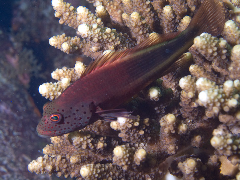 Photo at Kormoran:  Blackside hawkfish