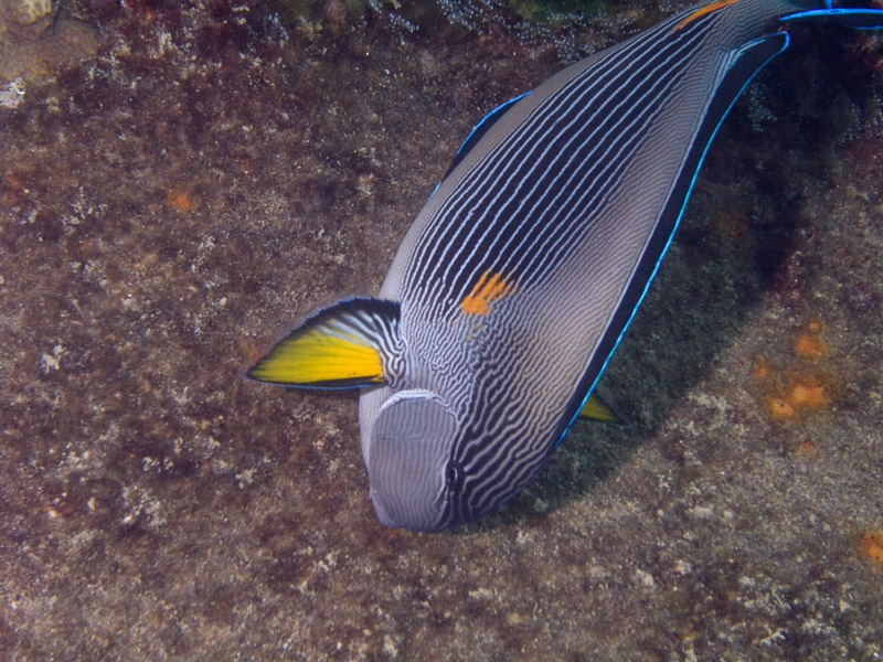 Photo at Kormoran:  Bluespine unicornfish