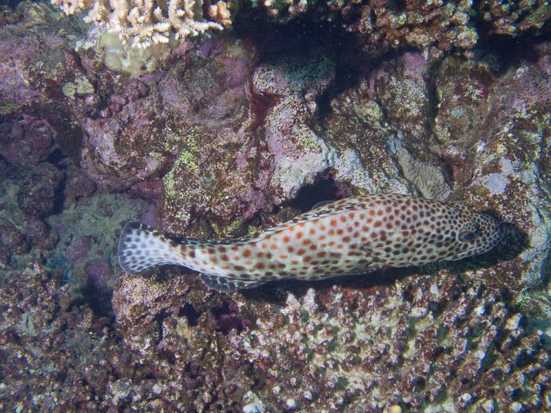 Photo at Kormoran:  Greasy grouper