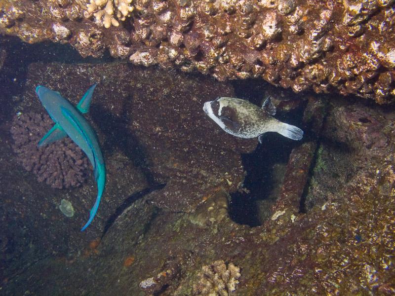 Photo at Kormoran:  Masked puffer,Parrotfish