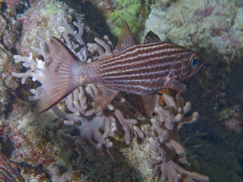 Photo at Stingray Station:  Large toothed cardinalfish