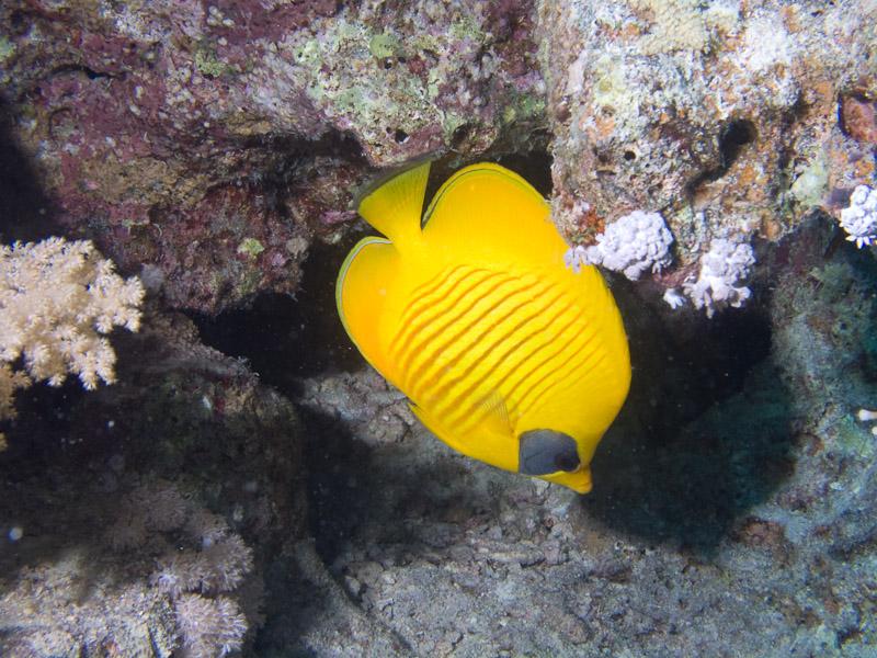 Photo at Stingray Station:  Bluecheek butterflyfish