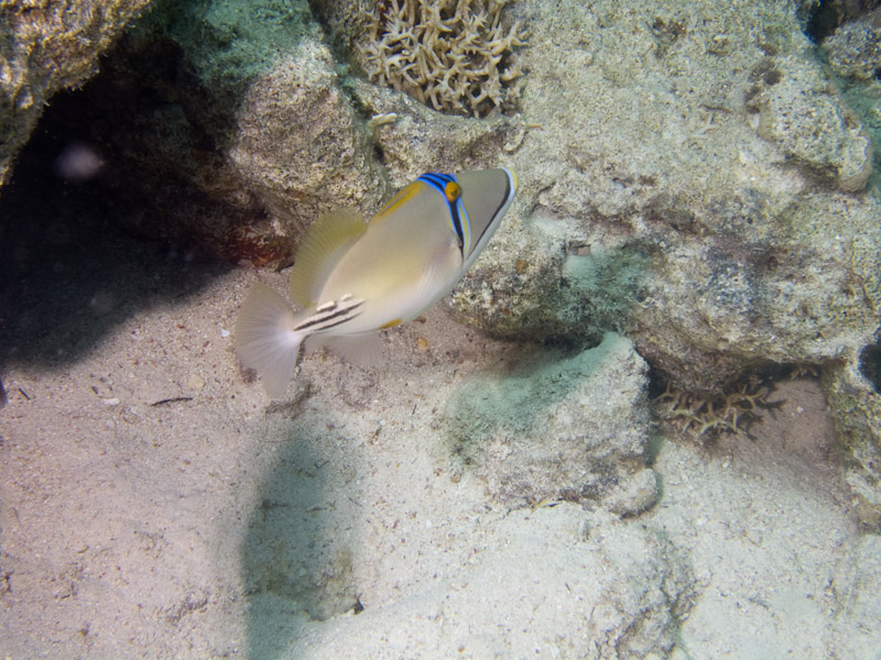 Photo at Stingray Station:  Picasso triggerfish