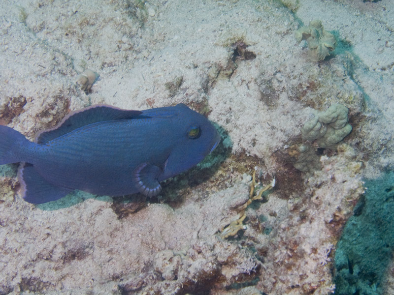Photo at Small Crack:  Redtoothed triggerfish