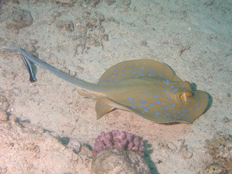 Photo at Small Crack:  Bluespotted ribbontail ray