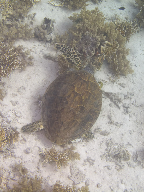 Photo at Small Crack:  Hawksbill Turtle