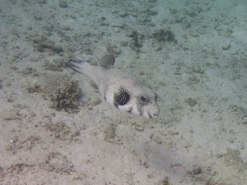 Photo at Small Crack:  White-spotted puffer