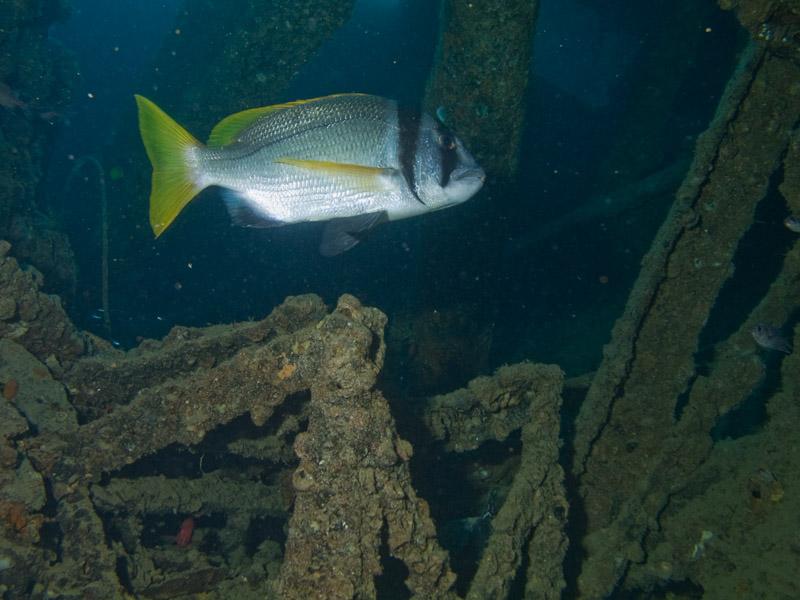 Photo at SS Thistlegorm:  Twobar seabream