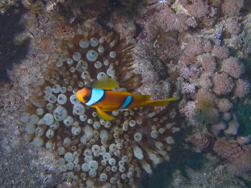 Photo at Beacon Rock:  Twoband anemonefish