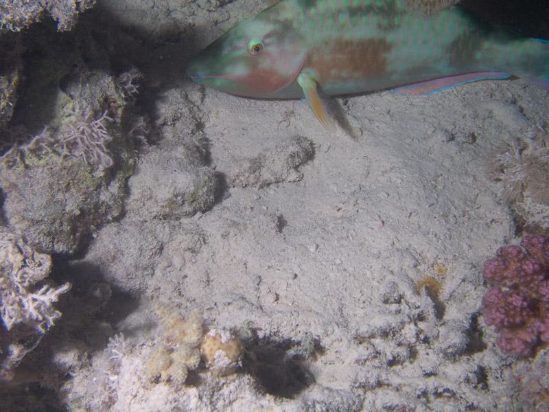 Photo at The Keys:  Candelamoa parrotfish