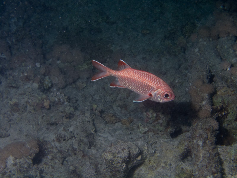 Photo at The Keys:  Pinecone soldierfish