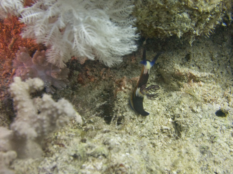 Photo at Dunraven:  Red Sea nembrotha