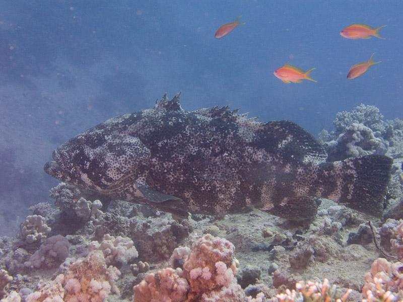 Photo at Dunraven:  Potato grouper