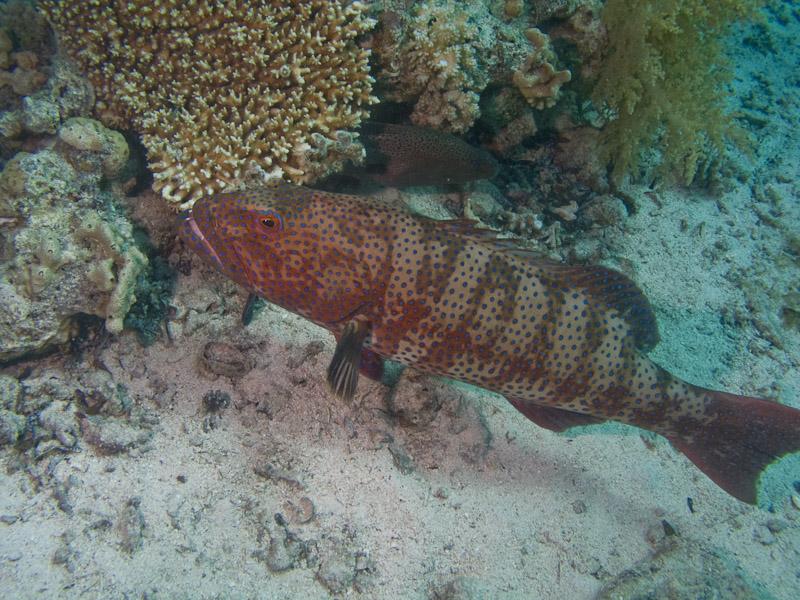 Photo at Shark & Yolanda Reefs:  Red Sea coralgrouper